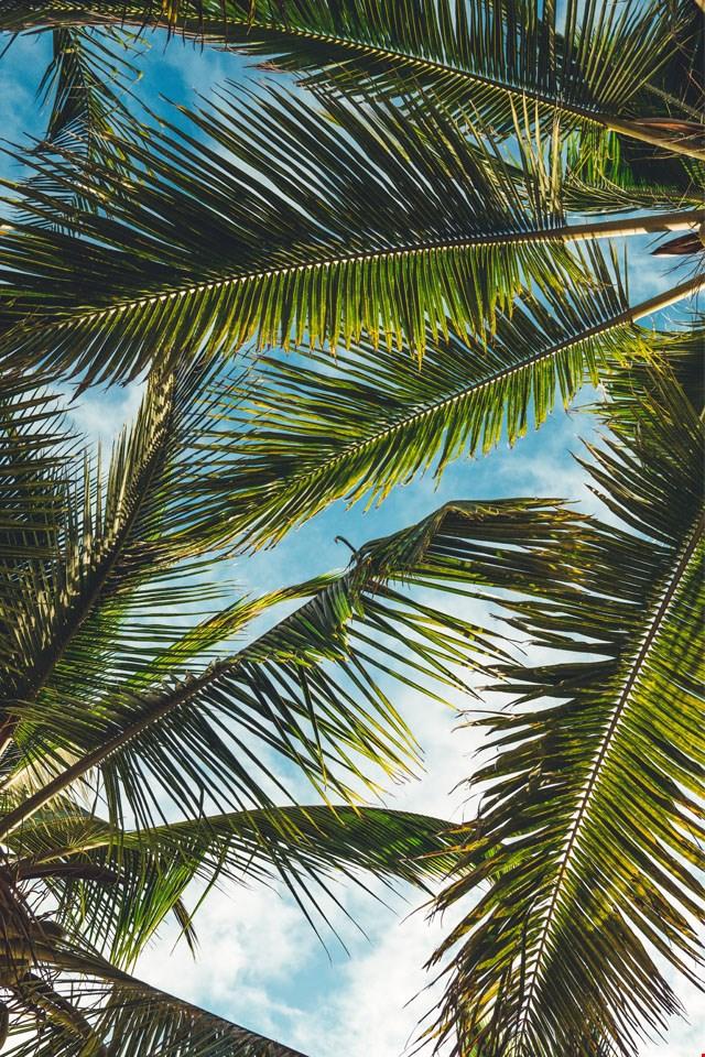 Hintergrund 'Palmen'